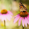 Painted lady butterfly on Echinacea flower 2