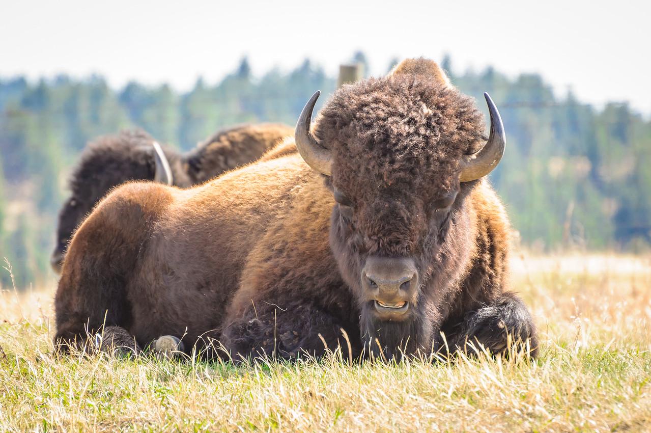 American Wild Buffalo
