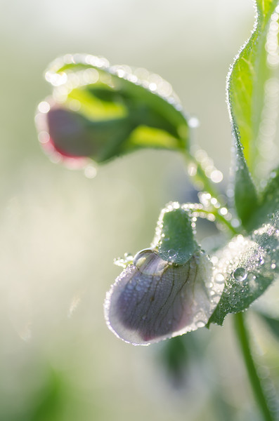 Pea in the morning dew drops