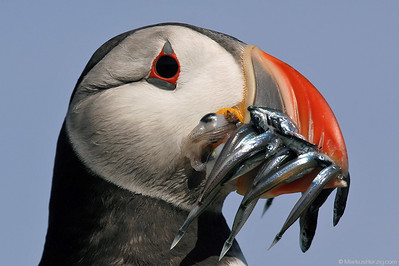 Puffin with fine fresh seafood @ Isle of May Scotland 14Jul06