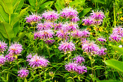 Wild Flowers, Wild Bergamot