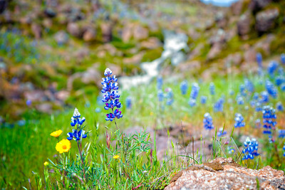 Lupins - Table Mountain-26