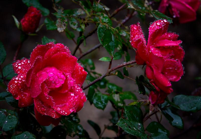 Roses in the rain.