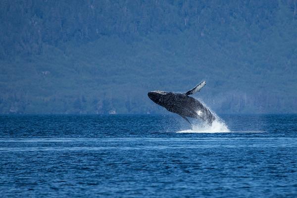 Alaska Humpback