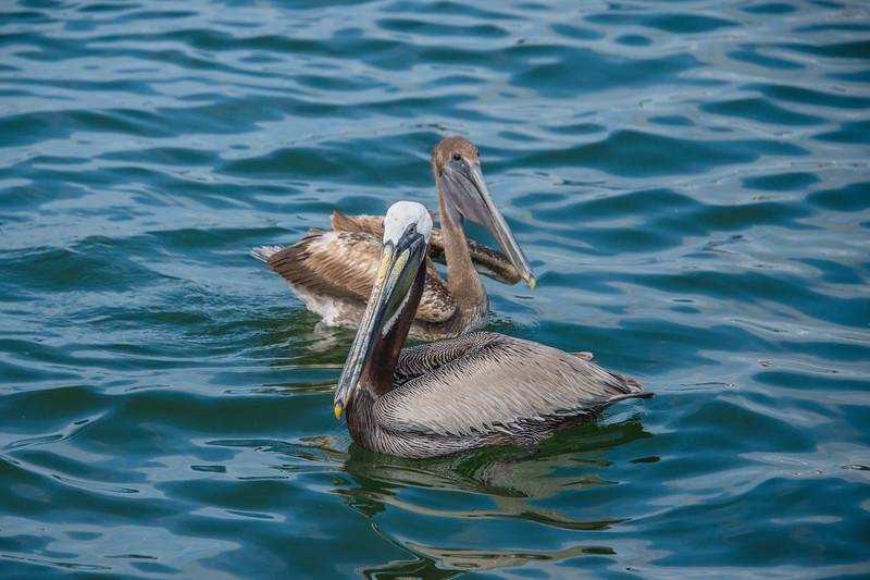 Pelicans 6302