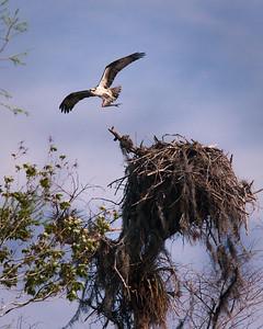 Osprey After Feeding Chicks