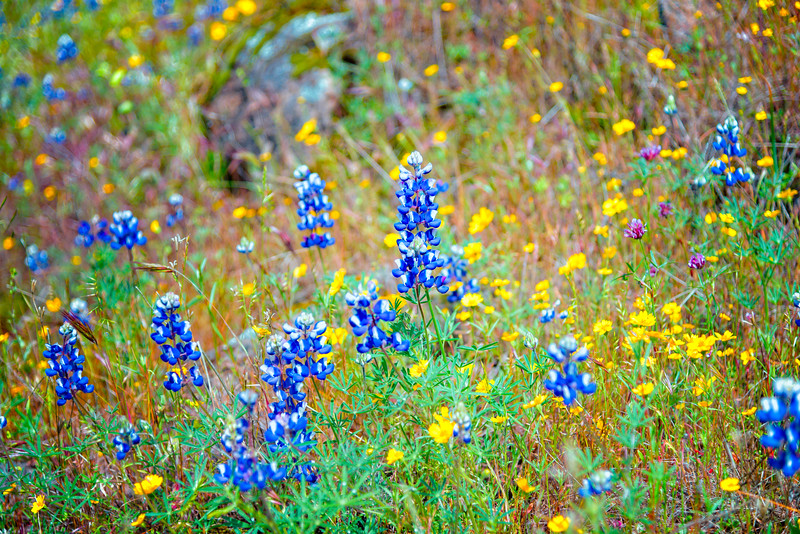 Lupins - Table Mountain-5