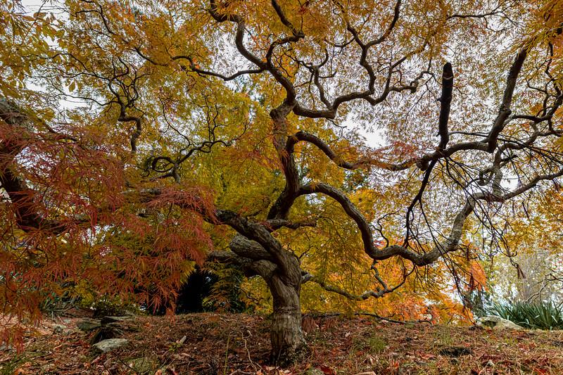 Autumn Leaves On Japanese Maple Tree 11/10/19
