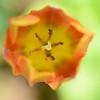 Tulip Pastel