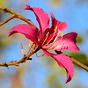 Orchid tree flower Bauhinia purpurea