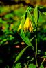 Large-flowered Bellwort, Uvularia grandiflora