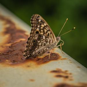 ButterflyRadnor Park NashvilleTN '18 LR-7255