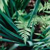 emerging ferns
