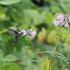 Hummingbird and Bergamot