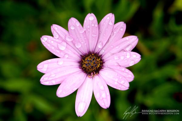 Dew on Pink Petals