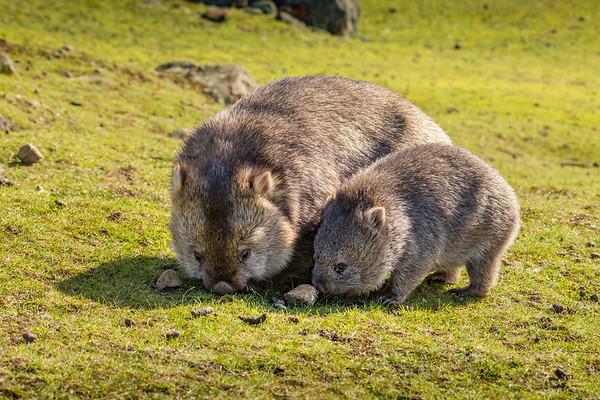 Flinders Island Wombat