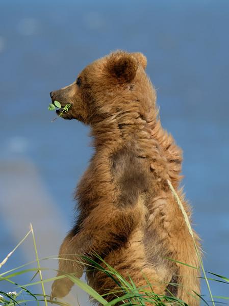 Alaska Coastal Bears at Lake Clark National Park, Alaska