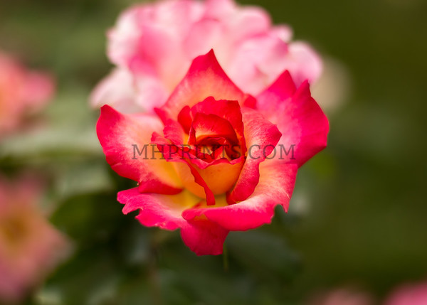 Red And White Rose