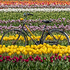 A Bicycle in a Field of Tulips 4/26/18