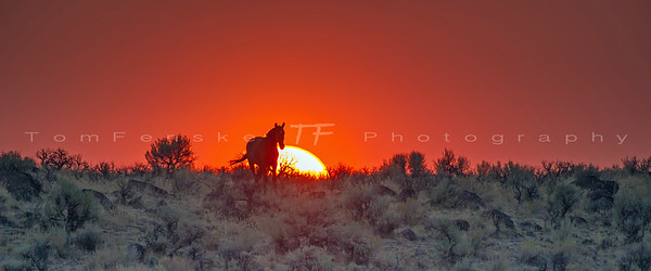 Wild horse at sunset