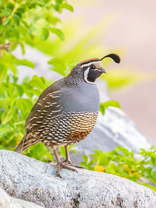 California Quail Lookout