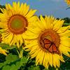 A Monarch Butterfly On A Sunflower 8/14/21