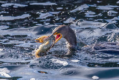 Cormorant with a Sculpin