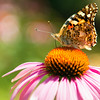 Painted lady butterfly on Echinacea flower