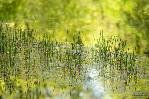 grass on the pond
