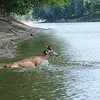 Deer crossing the Wabash River near Tecumseh, IN