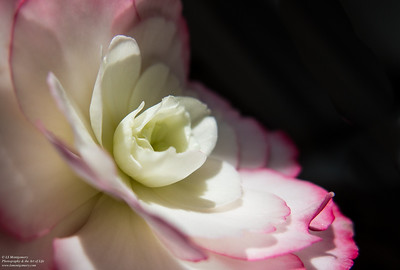 The Pink, the White,  Shadow and Light