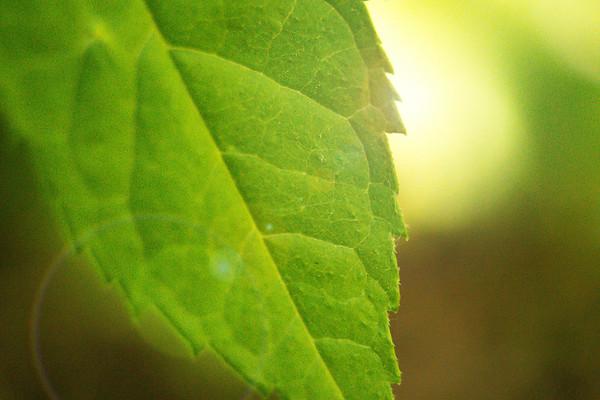Glowing Leaf