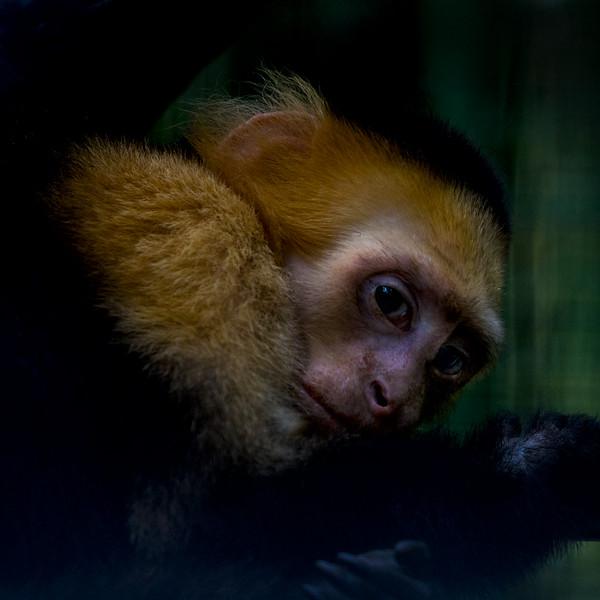 Capuchin Monkey near La Fortuna, Costa Rica