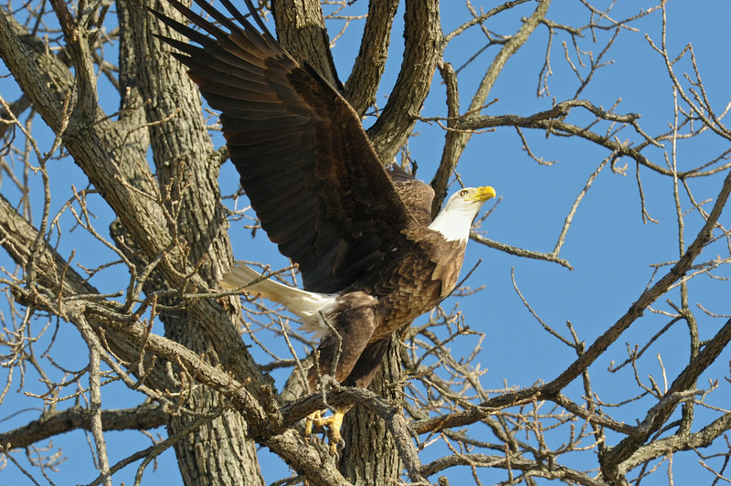 Bald Eagle, Wabash River, Northern Vigo County,   March 11 2014