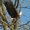 Bald Eagle, Wabash River, Northern Vigo County,   March 11 2014