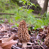 Mushroom at Sugar Creek Conservation Area in Parke County.   May 1, 2014