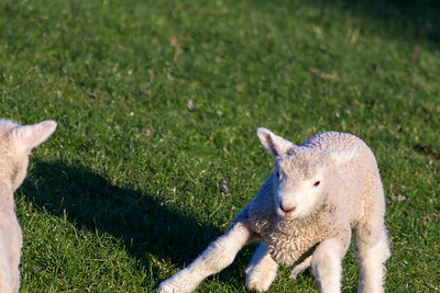 Lambs frolicking 3