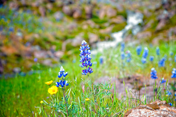 Lupins - Table Mountain-23