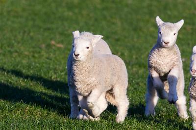 Lambs frolicking 1