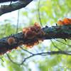 Wood Ear Fungi