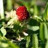 Wild Strawberry Growing in the Middle of  My Lawn