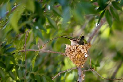 A hummingbird nesting.