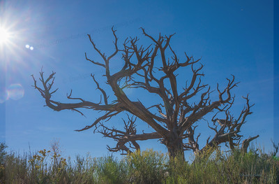 Canyonlands tree