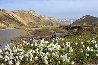 Flowers with colorful rhyolite mountains @ Landmannalaugar Iceland 21Jul09