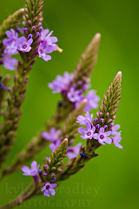 Blue vervain.   Photo by Kyle Spradley | © Kyle Spradley Photography | www.kspradleyphoto.com