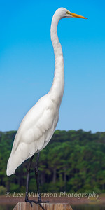 Great Egret Portrait #1