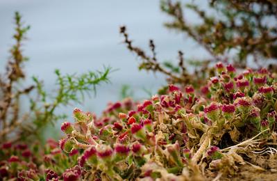 San Diego Cliff Plants