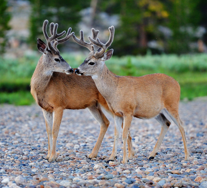 Young Bucks, Tuolumne Meadows, Yosemite National Park, CA