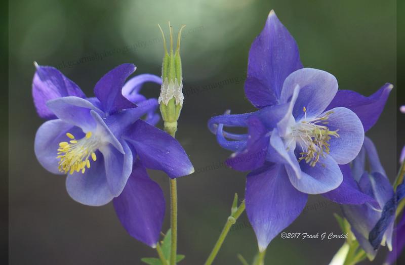 columbines blue