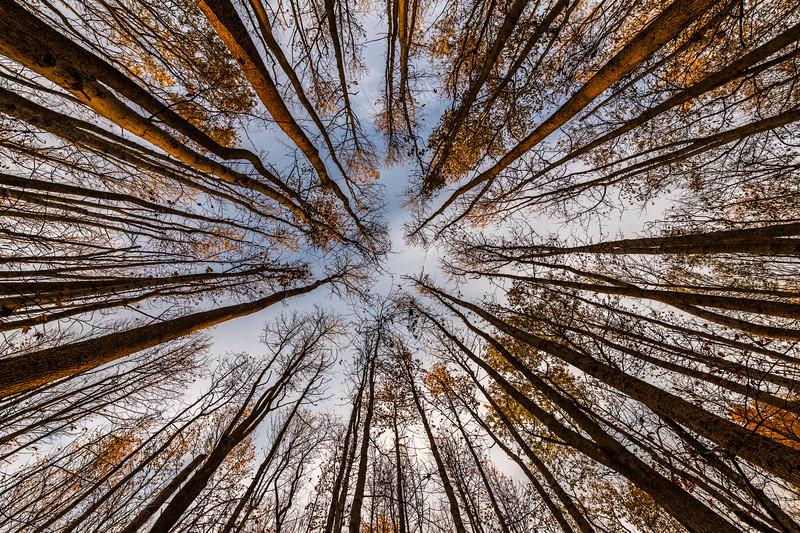 A Skyward View Of Autumn Trees 11/6/20